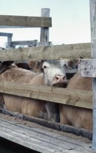 CattlePen