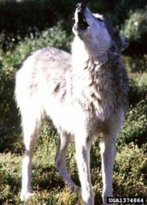 "Image of ""howling wolf"" by Terry Spivey, USDA Forest Service, Image # 1374864, www.forestryimages.org"